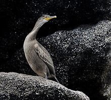 shag juvenile on a rocky outcrop by Grandalf
