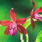 Red cattleya orchid by lanadi