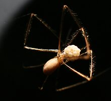 Spider eggs by Susan Hartwell