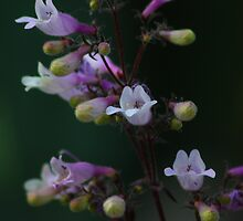 Penstemon - Dark Towers by MagicGarden