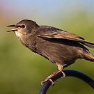 Juvenile Starling by Shaun Whiteman