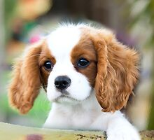 Cavalier King Charles Spaniel puppy by eagleyeimages