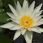 Water Lily - Grand Palace, Bangkok by BreeDanielle