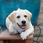 Labradore puppy With Blue Pot by eagleyeimages