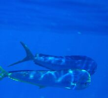 Mahimahi Swimming by trevallyphotos