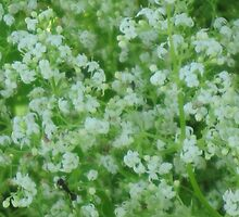 Tiny White Wild Flowers by teresa731