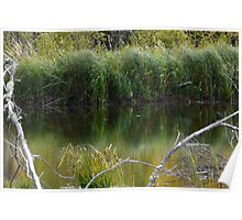 Wild Pond Grass Poster