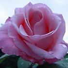 Soft pink rose by Annabella