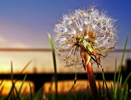 A Dandelion At Sundown. by Aj Finan