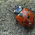 Cobwebbed Ladybird by sarnia2