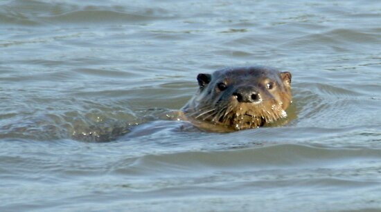 Otter in the water by Anthony Brewer