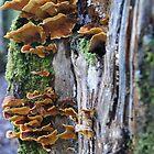 Bracket Fungi by rkoop
