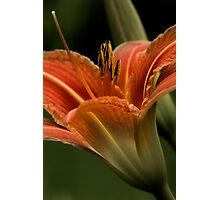 In The Spotlight - Daylilly Photographic Print