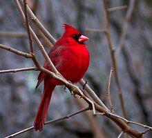 A Male Cardinal by Regenia Brabham