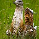 Male great bustard (Otis tarda) by Gabor Pozsgai