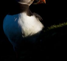 Atlantic Puffin (Fratercula arctica) by Gabor Pozsgai