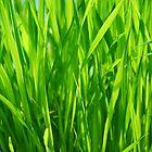 grass closeup by zuzanab