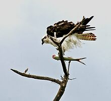 10-140 ~ Osprey's feathers blow in wind by djyoriginals