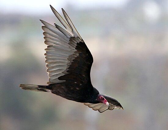 Turkey Vulture In flight by Michael  Moss