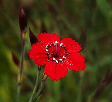 Dianthus by Susie Peek
