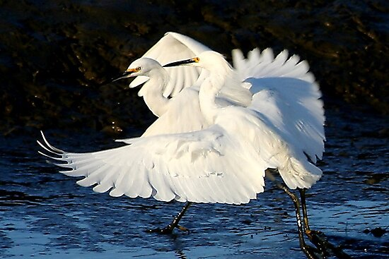 Egret Love by Paulette1021