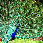 The most beautiful bird? by loiteke