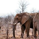 THE AFRICAN ELEPHANT – Loxodonta Africana - IN PROFILE, REAR AND FRONT! by Magaret Meintjes