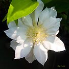 White Clematis by GardenJoy