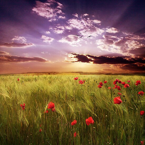 Field of poppies by Suzana Ristic