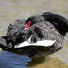 Centenail Park - Resident Black Swan by Marius Brecher