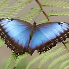 Blue Morpho Butterfly by Lindie