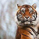 Sumatran Tiger by Pete Latham