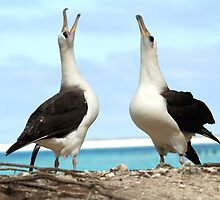 Dancing Laysan Albatrosses by Gina Ruttle  (Whalegeek)