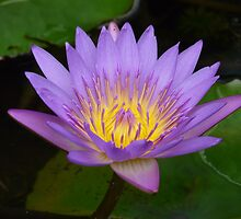 Lotus Flower by Heather Watson