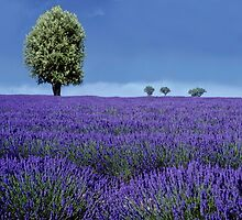 Flowers Land , Provance   FRANCE by yoshiaki nagashima