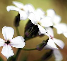 -White Campion by T.J. Martin