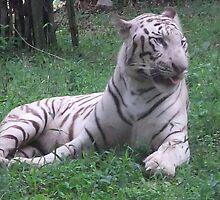 White Tiger  by sethuram
