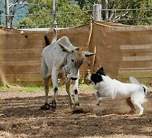 Patch in action at the cattle dog trials Widgee Qld by eagleyeimages