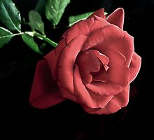 Red Rose by Tom Newman