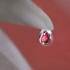 Red rose in water drop by MayJ