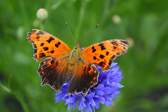 Comma Butterfly by marilynwood