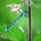 Beautiful Blue Damselfly by jennimarshall