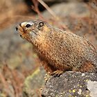 Marmot On Alert by J. L. Gould