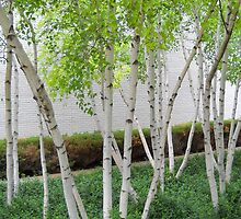 Grove of Birches 4 by Tom  Reynen