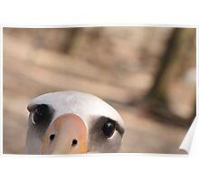 Curious Laysan Albatross Poster