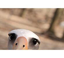 Curious Laysan Albatross Photographic Print