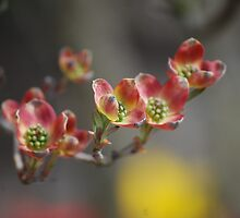 Dogwood Delights by LisaYvonne0123