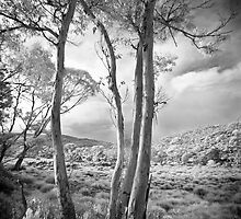 Eucalypt at Cradle Mountain by Mike Calder
