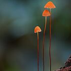 Big Scrub Rainforest - Fungi Calendar by Steve Axford