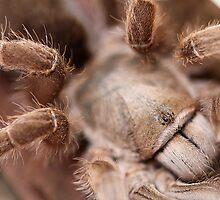 Australian Tarantula by EnviroKey
